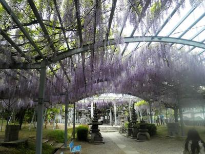 山田の藤と天水・花の館 ~花と温泉の旅~