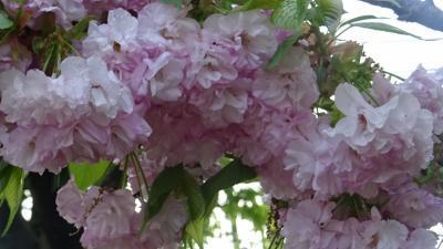 桜の花を撮影しながら、昆陽池公園~瑞ヶ池公園~東野地区を歩きました その4。