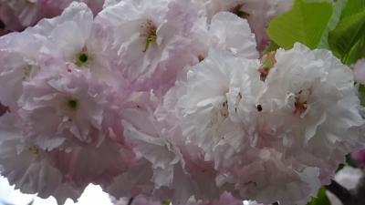 桜の花を撮影しながら、昆陽池公園~瑞ヶ池公園~東野地区を歩きました その6。