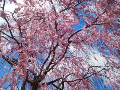 花ざかり彩ざかり日中線のしだれ桜、青空に映える宮川千本桜(花めぐりの旅'2021春④)