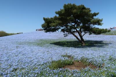 青い花を見にひたち海浜公園と、ついでに水戸と大洗