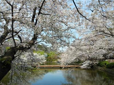 鎌倉2021桜 【3】鶴岡八幡宮
