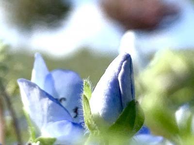 ネモフィラ*さくら*芝桜 たとえ遠くへ行かなくても…