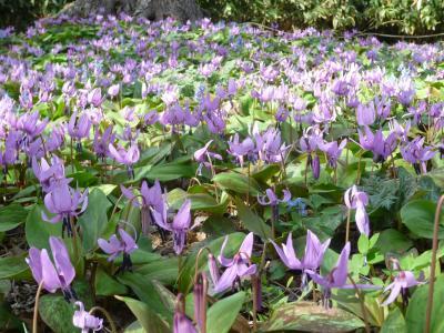 札幌・豊平公園でカタクリの花見ごろ