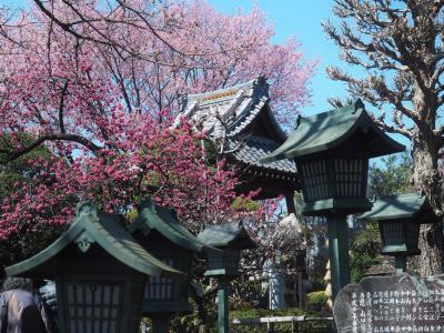 密蔵院の安行桜