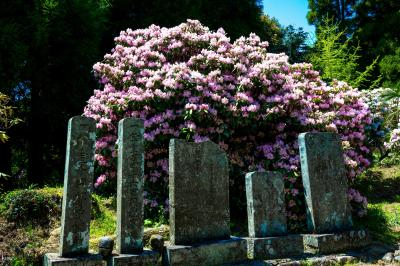 神角寺のシャクナゲ 2021