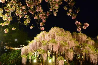 1日花めぐり ネモフィラと 大藤と うす紅藤と・・・茨城から栃木へ
