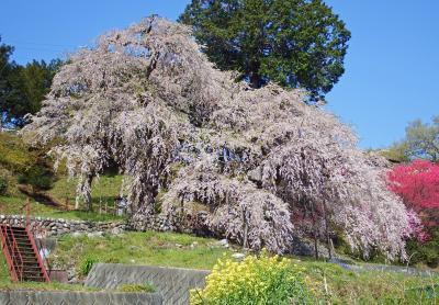 南信州の一本桜