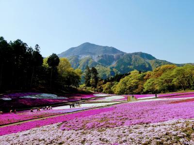 【2021年】羊山公園の芝桜はもう満開です。芝桜と琴平ハイキングで秩父を堪能する!