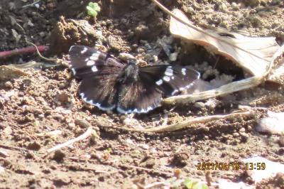 2021森のさんぽ道で見られた蝶⑤ダイミョウセセリ、ベニシジミ、ナミアゲハ、ルリタテハ等
