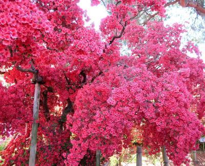 団塊夫婦の日帰り花巡りドライブー(1)館林つつじが岡公園
