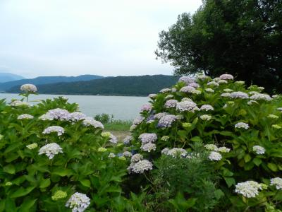 滋賀県北部を日帰りドライブ/余呉湖あじさい園~マキノのメタセコイア並木