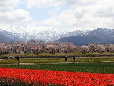 [2]観桜の富山. 松川ならず、舟川『春の四重奏(カルテット)』■なか日