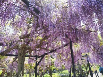 超・安全地帯 横須賀しょうぶ園の藤 2021.4.23