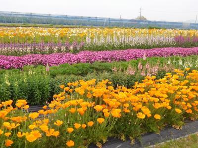 2021年4月 山口県・山陽小野田市 花の海でポピー、ネモフィラなどの花を見ました。