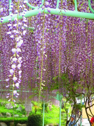 菰野町竹成の藤と五百羅漢を見てきました。(2021年)