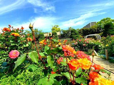 心はリオのカーニバル!躑躅を見に行くはずが、薔薇も見られた奇跡の朝