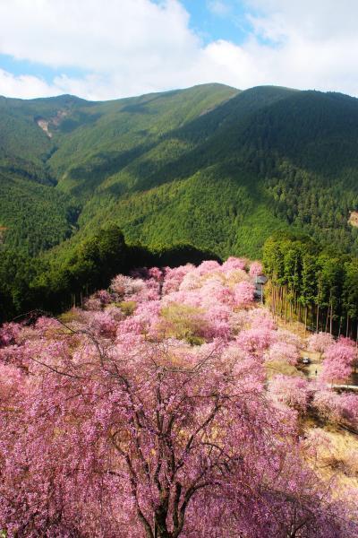 1000本の枝垂れ桜 高見の郷