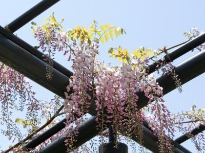 コロナウイルスを忘れて、大阪万博記念公園 自然文化園の平和のバラ園で「フジ」を、日本庭園で「フジ&ツツジ」を楽しむ。(2021)