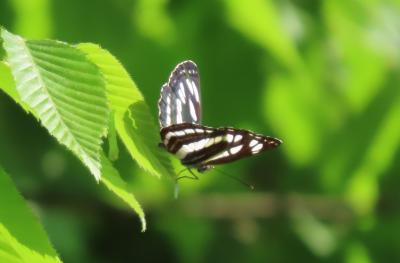 2021森のさんぽ道で見られた蝶⑥コミスジ、ダイミョウセセリ、テングチョウ、ベニシジミ等