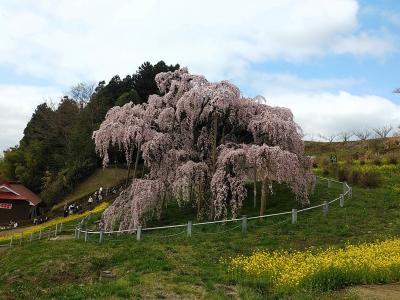 福島2021桜 【1】三春滝桜1