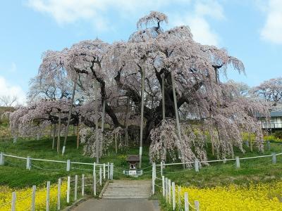 福島2021桜 【2】三春滝桜2