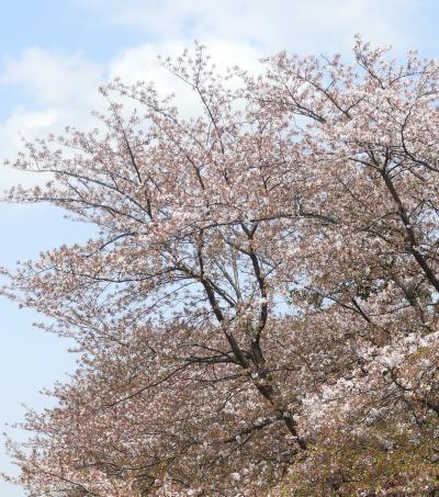 桜が乱舞する瀬谷区水辺の探訪