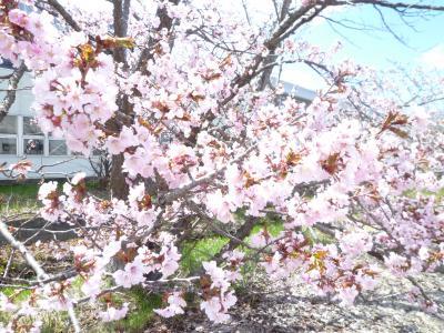 札幌・寒地土木研究所で千島桜開花(2021年)