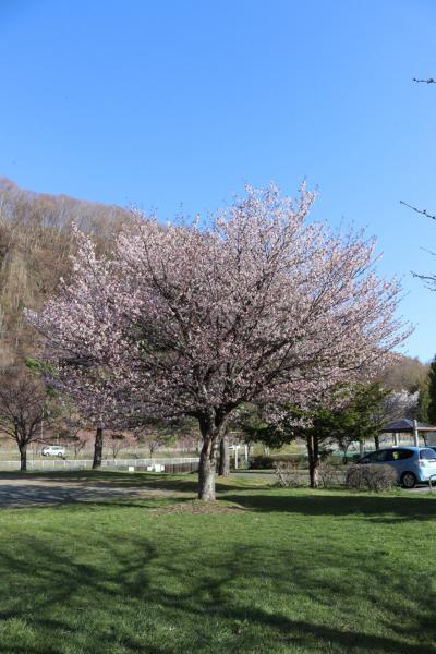 発寒川緑地でお花見