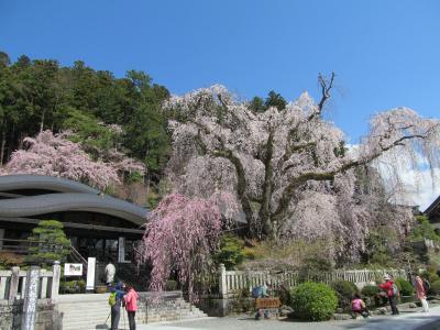 満開の桜咲く久遠寺と身延山