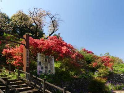 「つつじ山公園」のツツジ_2021_開花が進んでいますが、自然体です(太田市・薮塚)