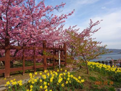 河津桜にうっとり