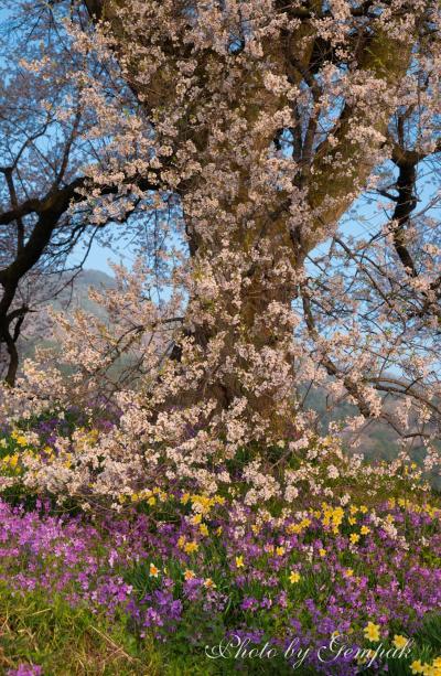 山梨県の桜銘木を巡る その1
