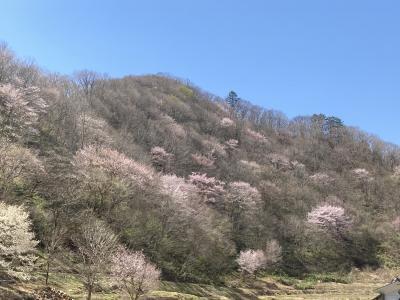 里山の春は当たり前?戸赤の山桜~桑取火のカタクリ~伊佐須美神社の薄墨桜