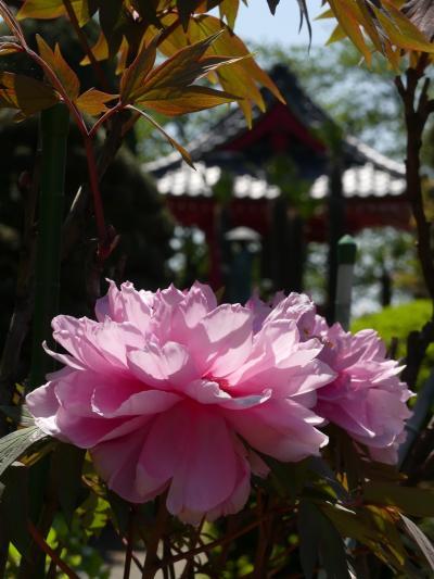 「大慶寺」の牡丹_2021_見頃過ぎ、散り進んでいます(群馬県・太田市)