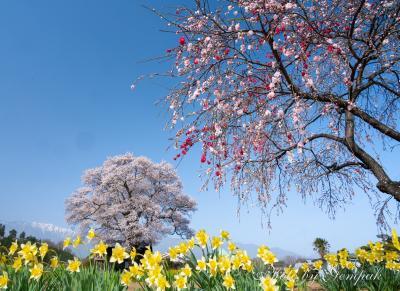 山梨県の桜銘木を巡る その2