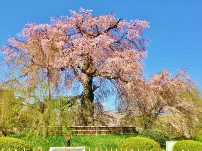 春うらら♪桜舞う京都へお花見名所巡り