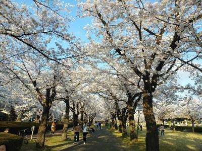 福島2021桜 【4】開成山公園