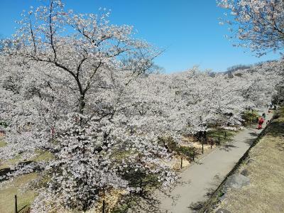 信州2021桜 【1】小諸懐古園1