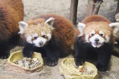 からくも雪を避けられた冬の那須どうぶつ王国再訪(2)「アジアの森」で成長したレッサーパンダの子供たち&マヌルネコの食事タイムまでねばれた他