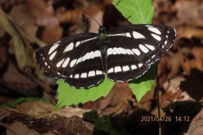 2021森のさんぽ道で見られた蝶⑦コミスジ、キチョウ、モンシロチョウ、ツバメシジミ、ベニシジミ等