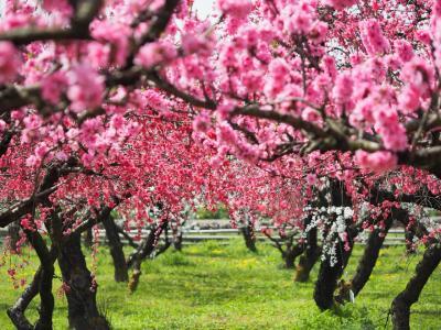 花咲かジジイの桃源郷 まるきたはなもも園