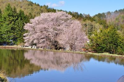 春遅い片品の水芭蕉と天王桜
