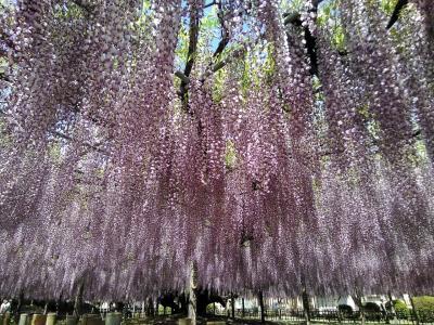 思い出の大藤を訪ねて 玉敷公園の大藤