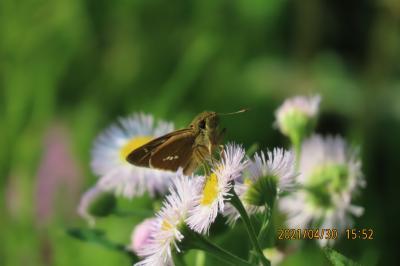 2021森のさんぽ道で見られた蝶⑧イチモンジセセリ、ダイミョウセセリ、テングチョウ、ナミアゲハ等