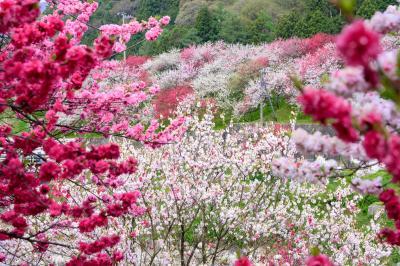 満開の花桃の里と妻籠宿へ