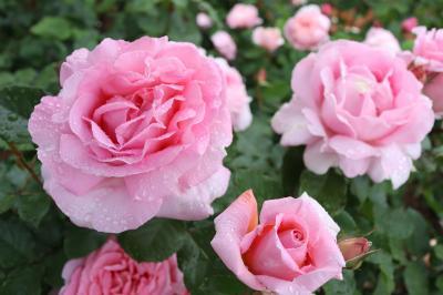 東京都港区 芝浦中央公園のバラ