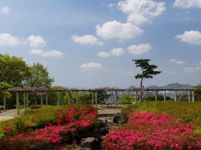 「織姫公園」のツツジ_2021_咲き始めていました(栃木県・足利市)