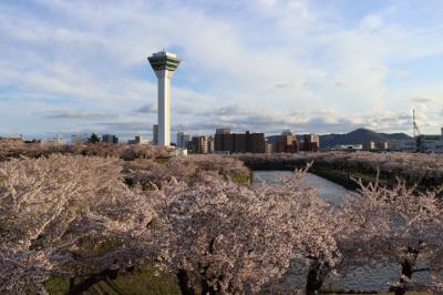 函館 桜巡り2日目