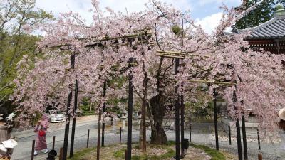 往復フェリー利用で京都・琵琶湖の桜を愛でる一人旅 京都清水寺、名門大洋フェリー編
